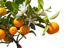 Tangerines on the tree. Royalty Free Stock Image