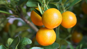 Tangerines on tree Royalty Free Stock Photography