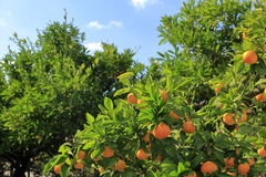Tangerines on the tree at orchard i Stock Photography