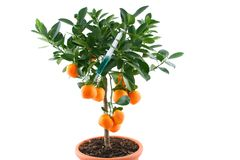 Tangerines tree with toxic syringe. Beautiful citrus tree with orange fruit on branches stock images