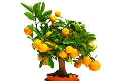 Tangerines on a tree Royalty Free Stock Photo