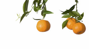 Tangerines on white. Branch of tangerines isolated on white royalty free stock photos