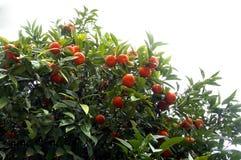 Tangerinträd med frukter Royaltyfria Foton