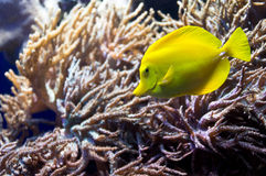 Tangfish Royalty Free Stock Photo