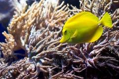 Tangfish. (surgeon fish) in corrales Royalty Free Stock Photo