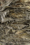 Tanggled branches texture  of trunk palm-tree Royalty Free Stock Image