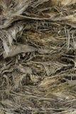 Tanggled rozgałęzia się teksturę bagażnika drzewko palmowe Obraz Royalty Free