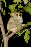 tangkoko πιό tarsier Στοκ Φωτογραφίες