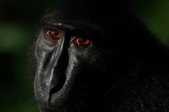 苏拉威西岛黑有顶饰短尾猿, Tangkoko自然保护 免版税库存图片