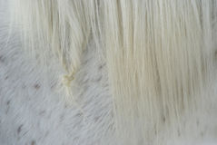 Tangle. A close up of a tangle in a horse's mane Royalty Free Stock Image