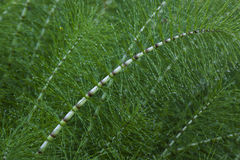 Tangle of great horsetail tangle, horsetail Stock Image
