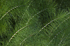 Tangle of great horsetail tangle, horsetail Royalty Free Stock Photos