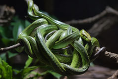 Tangle of  green snakes. Around branch Stock Photo