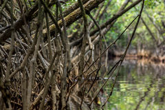 Tangle of Mangrove tree roots and branches growing in to a calm Stock Image