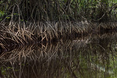 Tangle of Mangrove tree roots and branches growing in to a calm Stock Photo