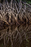 Tangle of Mangrove tree roots and branches growing in to a calm Royalty Free Stock Photo