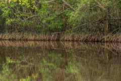 Tangle of Mangrove tree roots and branches growing in to a calm Stock Photos