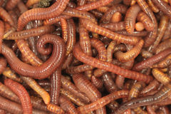 A tangle of red manure worms Stock Photography