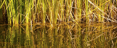 Tangle of Reeds and Water Reflections Stock Photography