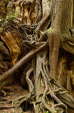Tangle of roots royalty free stock image