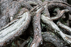 Tangle of roots. Background with tangle of roots Stock Photo