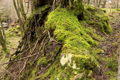 Tangle of Roots. Royalty Free Stock Image