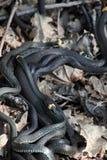 Tangle  snakes  wild nature Stock Photo