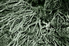Tangle of tree roots Stock Photo