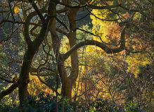 Tangle of Trees in Fall Color Royalty Free Stock Images