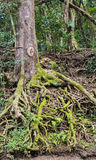 A tangle of tropical roots. The mossy roots of a tree are exposed by the constant rainfall of the jungle, and have grown into a captivating tangle. Shot taken on Royalty Free Stock Photo