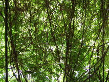 Tangle of vines. Picture of a green tangle of vines Royalty Free Stock Photos
