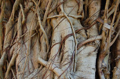 Tangled fig. Detail of fig tree trunk Stock Images