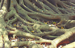 Tangled fig tree roots. Tangled roots of a Moreton Bay Fig Tree Stock Photography