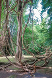 Tangled lianas in the  forest Stock Images