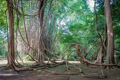 Tangled lianas in the  forest Stock Image