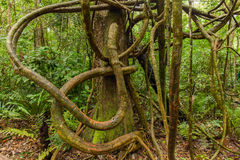 Tangled lianas in the tropical forest royalty free stock photos