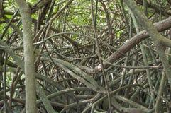 Tangled mangroves Stock Photo