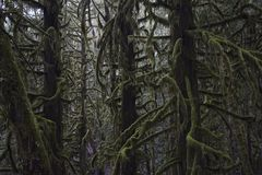 Tangled, Moss-covered Trees. Douglas fir trees with moss-covered branches Royalty Free Stock Image
