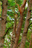Tangled scots or scotch pine Pinus sylvestris tree trunks in forest. Stock Photos