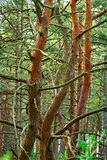 Tangled scots or scotch pine Pinus sylvestris tree trunks in forest. Stock Images