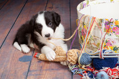 Tangled puppy Stock Image