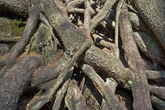 Tangled roots Royalty Free Stock Photo