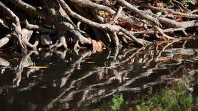 Tangled Roots on Crrek Bank Loop stock footage