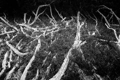 Tangled roots Royalty Free Stock Photos