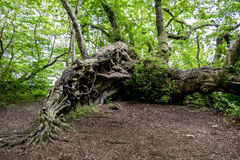 Free Tangled Roots Of An Ancient Tree Royalty Free Stock Images - 74373089