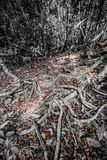 The tangled roots Stock Photography