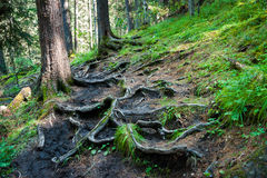 Tangled roots of trees. Trekking in the Altai Mountains Stock Photography