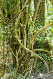 Tangled tree with ivy Stock Image