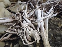Tangled Tree. Sea-washed tree stump Royalty Free Stock Image