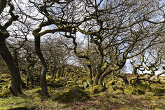Bare, twisted, moss covered trees with tangled branches growing on rocky ground Royalty Free Stock Photo
